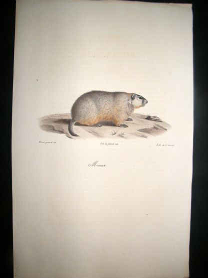 Saint Hilaire & Cuvier C1830 Folio Hand Colored Print. Groundhog | Albion Prints